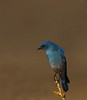 Mountain Bluebird - male - (Sialia currucoides)