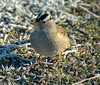 White-crowned Sparrow (Zonotrichia leucophrys) - male