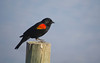 Red-winged Blackbird (Agelaius phoeniceus) - male.