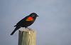 Red-winged Blackbird (Agelaius phoeniceus) - male.