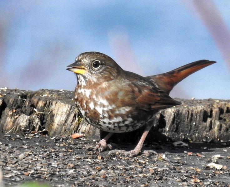 Sooty Fox Sparrow - Passerella iliaca