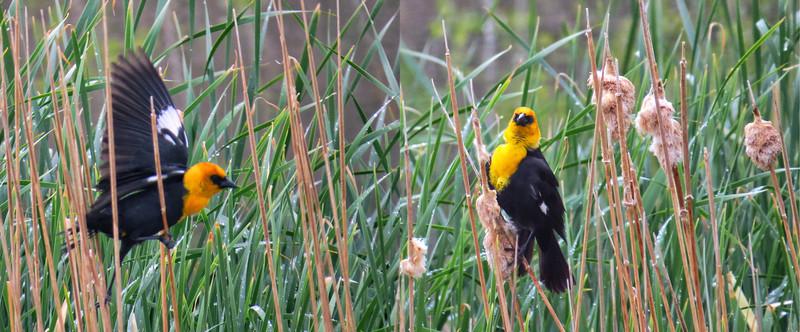 Yellow-headed Blackbird (Xanthocephalus xanthocephalus)
