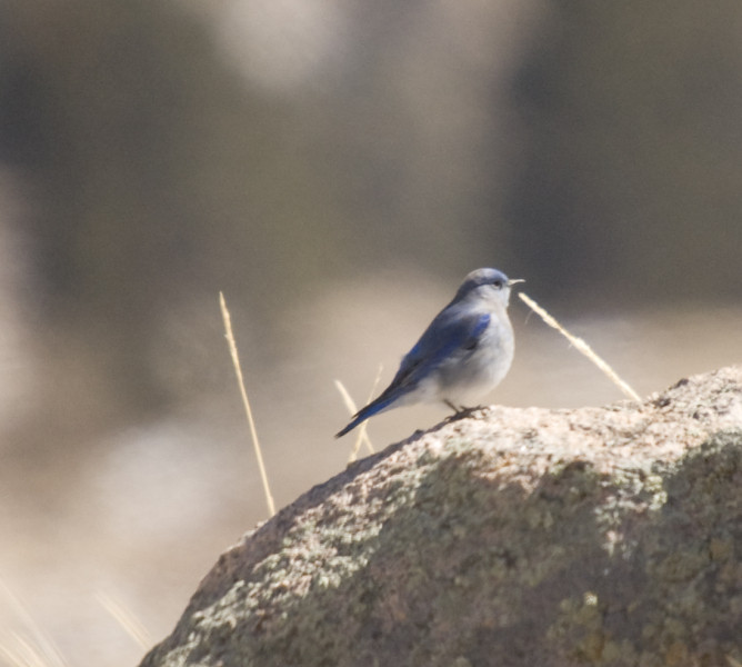 Mountain Bluebird - female - (Sialia currucoides)