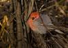 Pine Grosbeak (Pinicola enucleator) - male