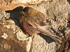 Brown-Capped Rosy-Finch (Leucosticte australis)