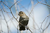 Red-winged Blackbird (Agelaius phoeniceus) - female