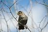 Red-winged Blackbird (Agelaius phoeniceus) - female