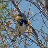 Yellow-rumped Warbler (Setophaga coronata) - Audubon's subspecies - yellow throat