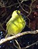 Hawaiʻi ʻamakihi (Hemignathus virens)