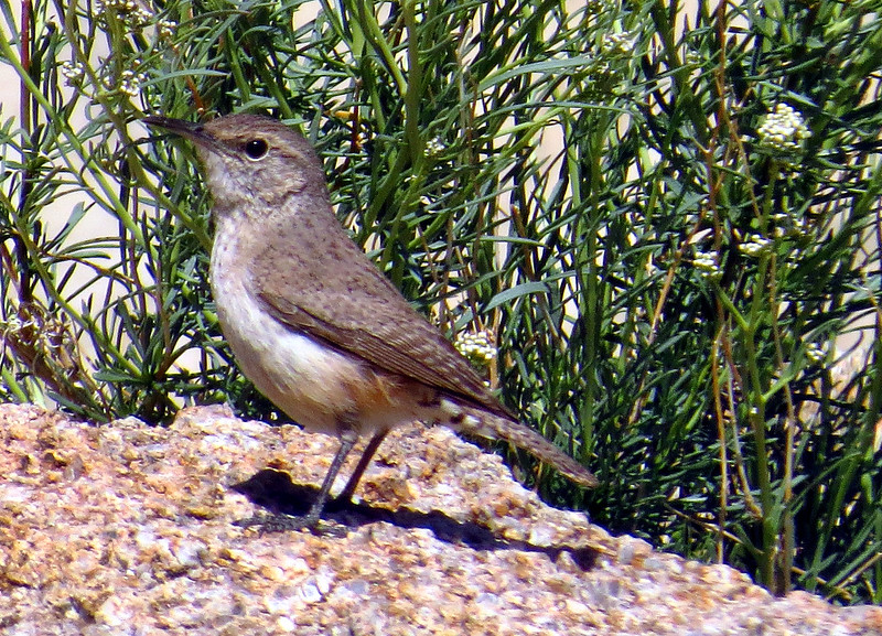 Rock Wren (Salpinctes obsoletus) - Juvenile