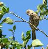 House Finch (Carpodacus mexicanus) - female