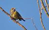 Common Crossbill (Loxia curvirostra) - female