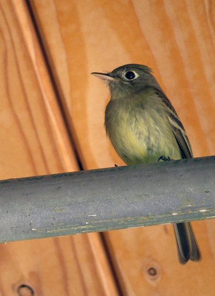 Flycatcher (genus Empidonax) - Hammond's or Dusky