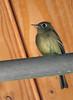 Flycatcher (genus Empidonax) - Hammond's or Dusky