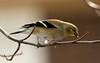 American Goldfinch (Spinus tristis) - non breeding male