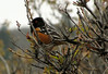 Spotted Towhee - Pipilo maculatus