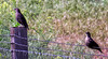 European Starling (Sturnus vulgaris) - Juvenile
