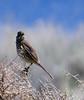 Sage Thrasher (Oreoscoptes montanus)