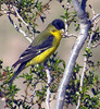 Lesser Goldfinch (Spinus psaltria) - probable male