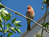 House Finch (Carpodacus mexicanus) - male