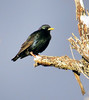 European Starling (Sturnus vulgaris) - breeding colors