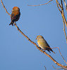 Common Crossbill (Loxia curvirostra) - male and female