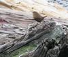 Pacific Wren  (Troglodytes pacificus)