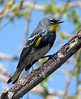 Yellow-rumped Warbler (Setophaga coronata) - Audubon's subspecies - yellow throat