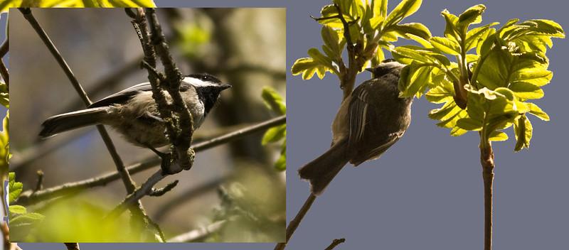Black-capped Chickadee (Poecile atricapillus).