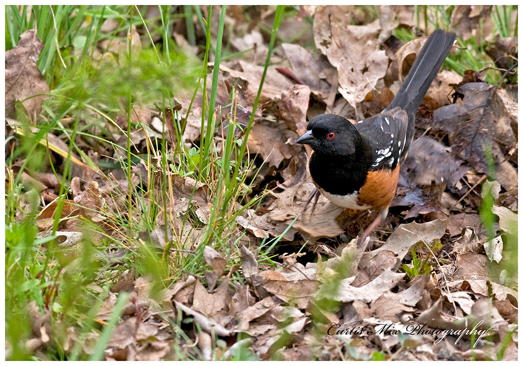 Rufous-sided Towhee turning up leaves looking for food.