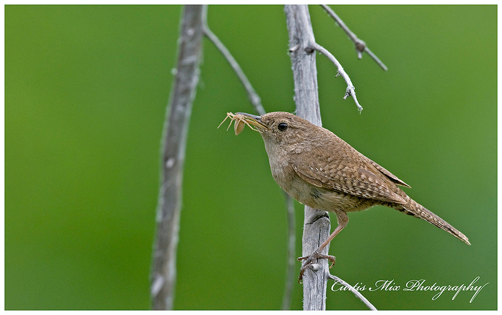 Wren bringing another spider.