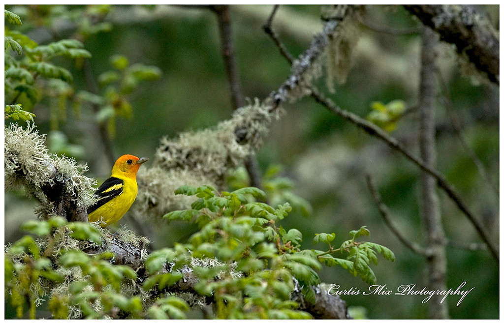 Western Tanager Jungle.