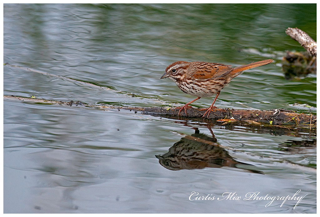 Song Sparrow coming down to the water.