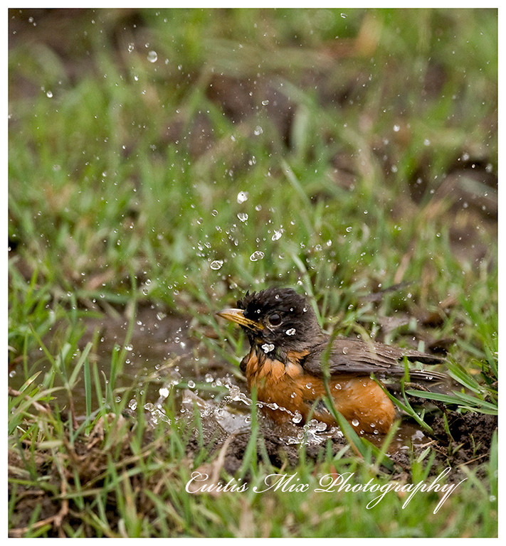 A Robin takes a bath in a puddle in the elk meadow.