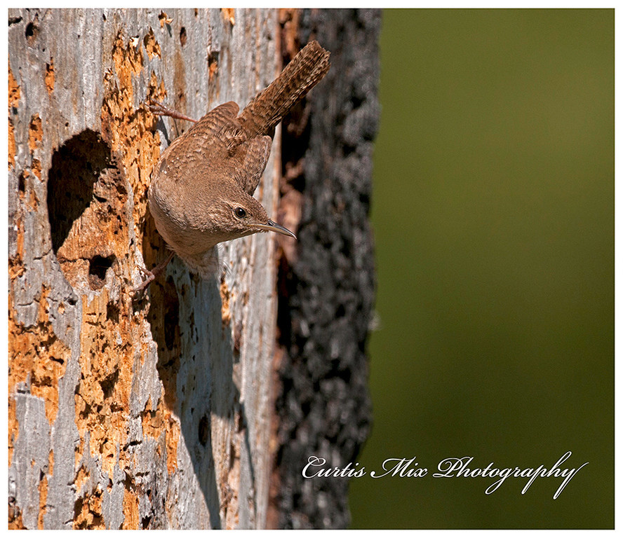 A House Wren near a woodpecker nest.