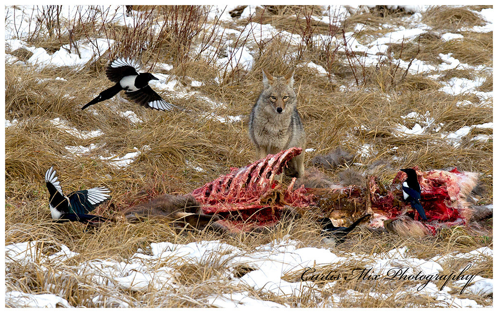 Magpies on an elk carcass.