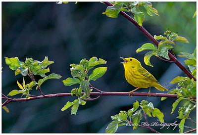Singing Yellow Warbler.