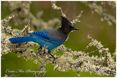 Stellar Jay on mossy Oak branch.
