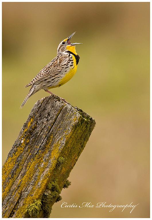 Singing in the Spring. Western Meadowlark.
