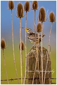 In the Teasels. Western Meadowlark.