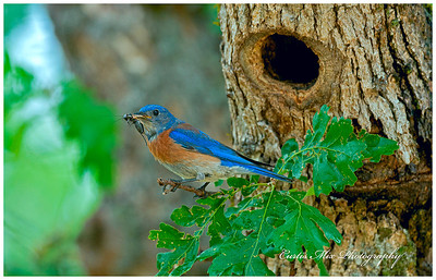 The male Western Bluebird brings a cricket to the young.