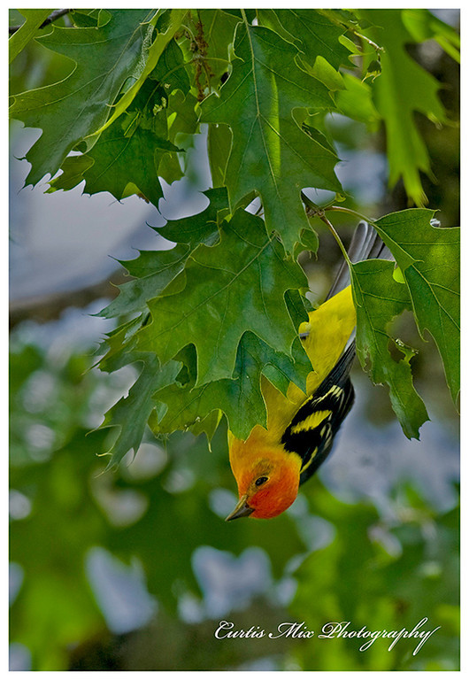 Western Tanager hanging upside down while hunting for insects.