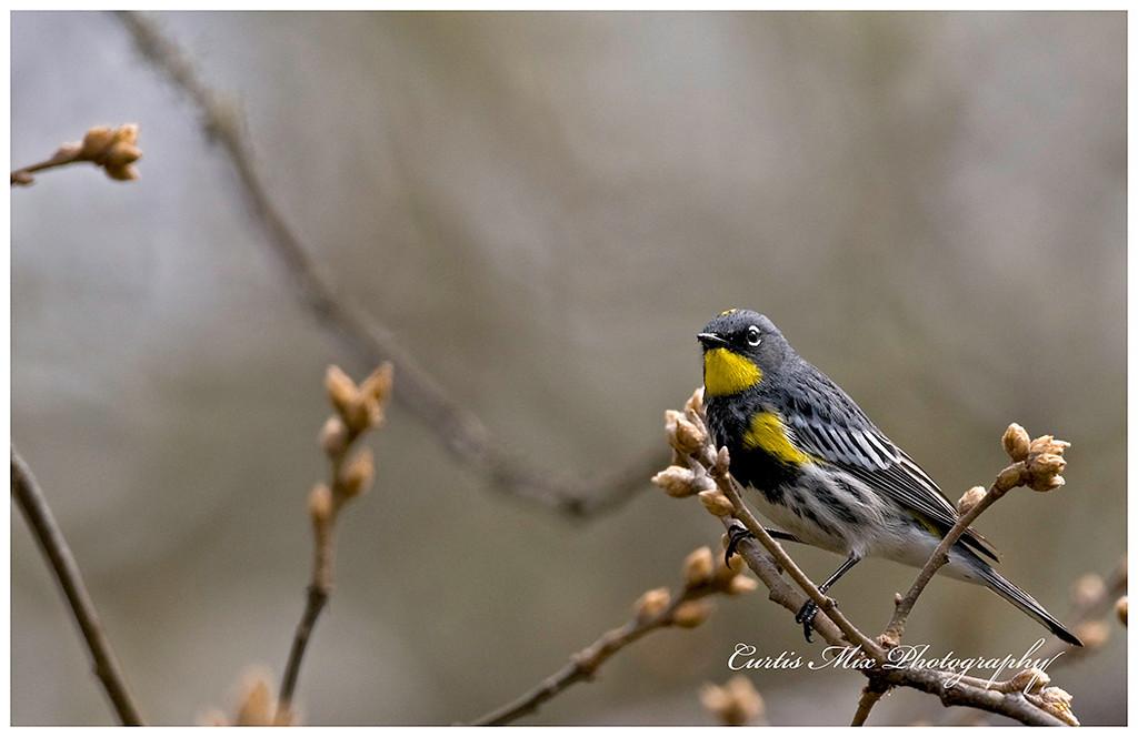 Yellow- Rumped Warbler.