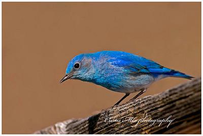 Mountain Bluebird.