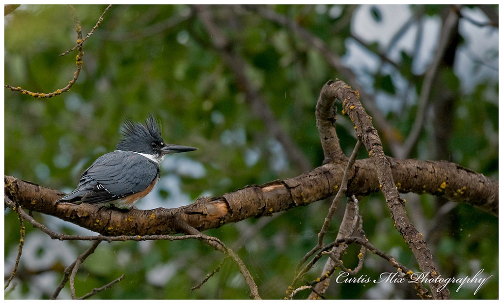 A belted Kingfisher comes by on a rainy day.