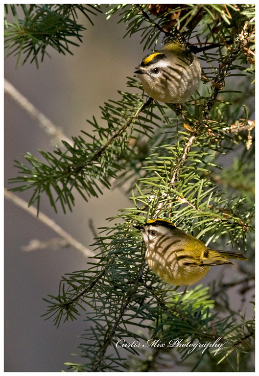 Golden-crowned Kinglets in a fir tree.