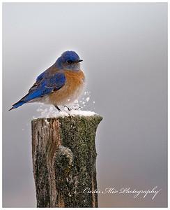Kicking up snow. Western Bluebird.