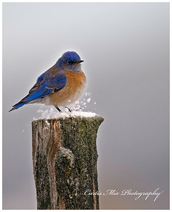 Kicking up snow. Western Bluebird.