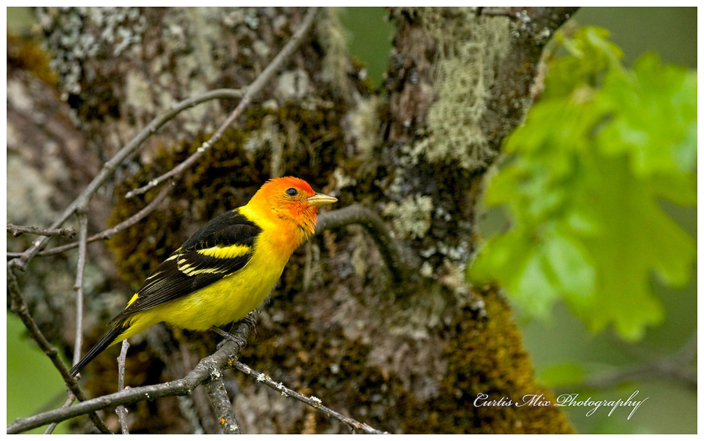 Male Western Tanager.