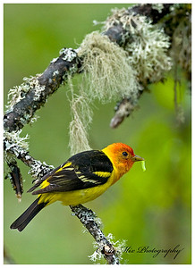 Western Tanager kill shot. This took a lot of patience. They hunt insects in the trees. They catch caterpillars, inch worms, bugs and flying insects. Usually they eat it too fast or they look away or are in thick leaves.